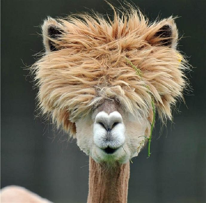I want puffy alpaca hair.  Is that so much to ask?