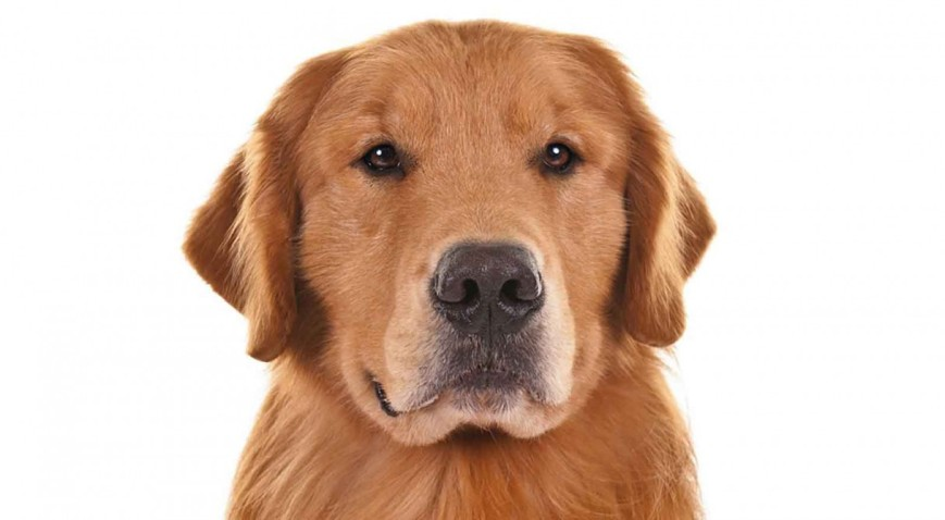 Golden_Retriever_Schultz_head