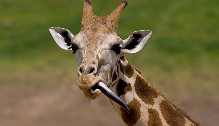 giraffe_ugandan_tongue